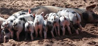 ECONOMÍA – Alimentación | Por la importación de cerdos norteamericanos de baja calidad se perderían 35.000 puestos de trabajo.