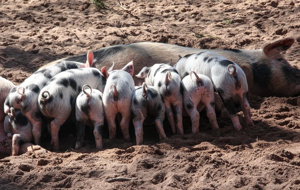 El ingreso indiscriminado de cerdos norteamericanos provocará la pérdida de 35.000 puestos de trabajo y la contaminación de la producción local.